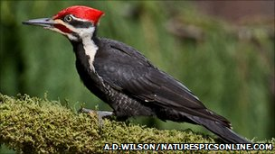 Pileated woodpecker (Alan D. Wilson/naturespicsonline.com)