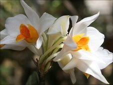 New species of orchid found in Vietnam, Dendrobium daklakense (Image: Duong Toan)