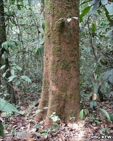 New species of tree found in Cameroon, Magnistipula multinervia (Image: RBG Kew)