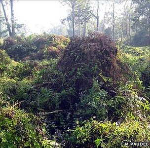Invasive creeper Mikenia Micrantha, which is damaging national parks in Nepal (Image: CM Paudel)