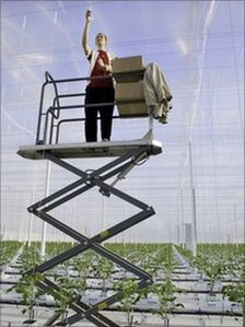 Man installing tomato plant strings at Thanet Earth