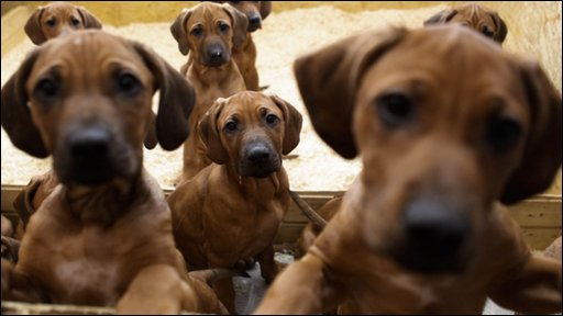 17 Puppies born in Germany