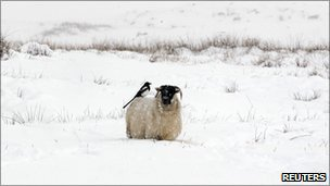 A magpie perches on a ram in the Glens of Antrim