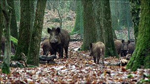 Wild boar in woods
