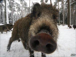 Wild boar in Germany