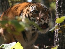 Amur tiger (Image: John Goodrich/WCS)
