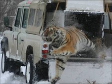 Amur tiger being released into the wild following rehabilitation (Image: John Goodrich/WCS)