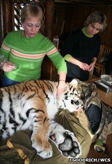 Amur tiger at the Utyos Wildlife Rehabilitation Center (Image: John Goodrich/WCS)