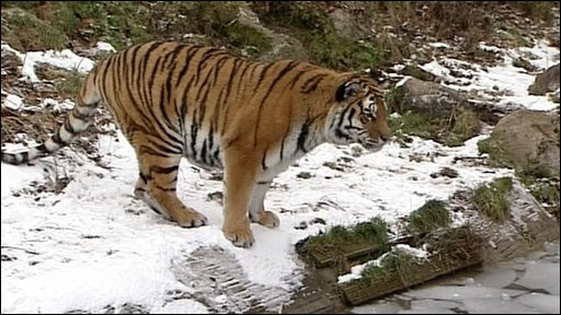 Tigers at Dartmoor zoo are trying to escape by crossing a frozen stream!