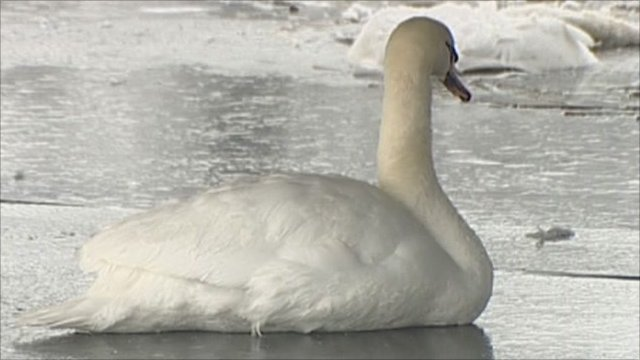 Swan stuck in ice in Somerset Levels