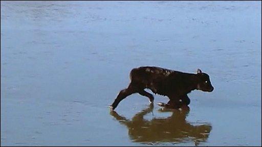 Calf on ice in Oklahoma