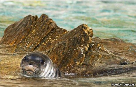 Mediterranean monk seal (Image: Mom/ V Paravas)