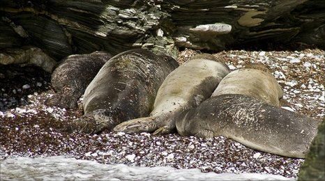 Monk seals in a newly discovered colony in Greece (Image: Mom)