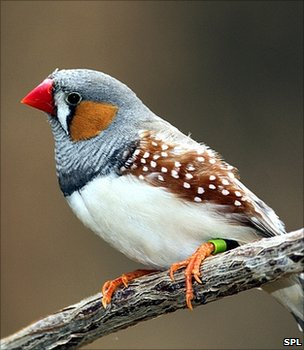 Birds Zebra Finch Songs