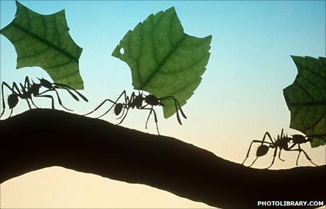 Leaf-cutter ants (Image: photolibrary.com)