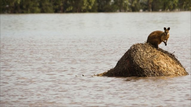 Wallaby stranded by floods in Queensland, Australia
