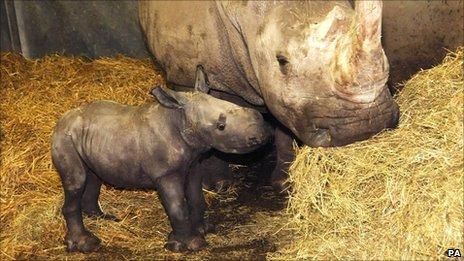 Newborn female white rhino