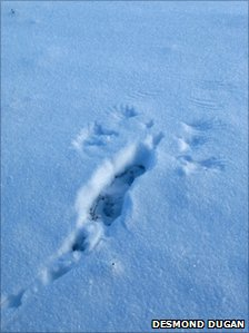 Markings left by a red grouse in snow. Pic: Desmond Dugan/RSPB