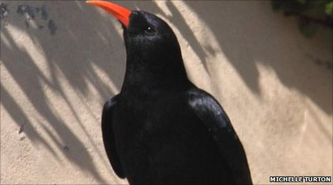The Cornish Chough is recognised by its striking red feed and elegantly curved bill.