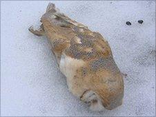 Dead Barn Owl