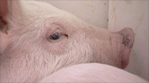 A genetically-modified 'enviro-pig' in Ontario