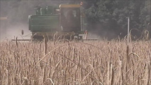 Wheat being harvested