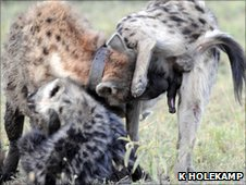 Spotted hyenas engaged in greeting ceremony - this sniffing reinforces social bonds  (Image: Kay Holekamp)