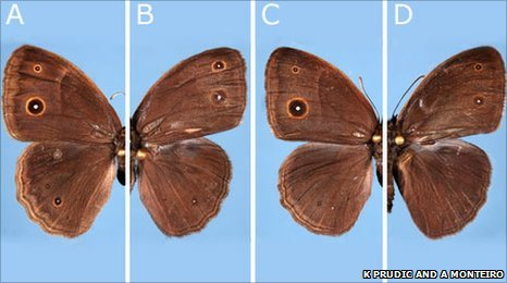 Comparison of surface wing patterns in Bicyclus anynana (c) Kathleen Prudic and Antonia Monteiro A.
