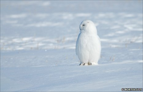 Snowy owl (Image: Gary Bortolotti)