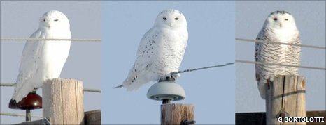 Three snowy owls of varying plumage colour (Image: Gary Bortolotti)