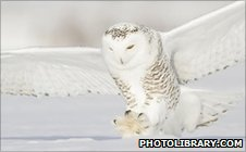 Snowy owl (Image: photolibrary.com)