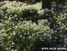 Snowdrops, Anglesey Abbey