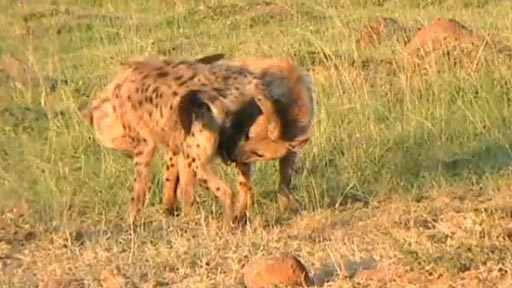 "Hyenas engaging in ""greeting ceremony"""