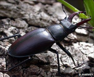 Adult male stag beetle (Image: Deborah Harvey)