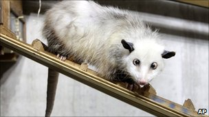A cross-eyed opossum (didelphis) called Heidi sits in her interim enclosure, in the zoo in Leipzig, Germany, on Wednesday, Dec. 15, 2010