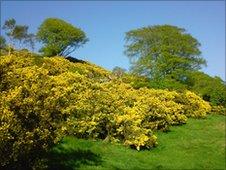 Gorse on Eston Hills. Photo by Jonathan Green