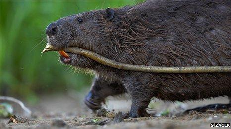 A European beaver (c) Sven Zacek