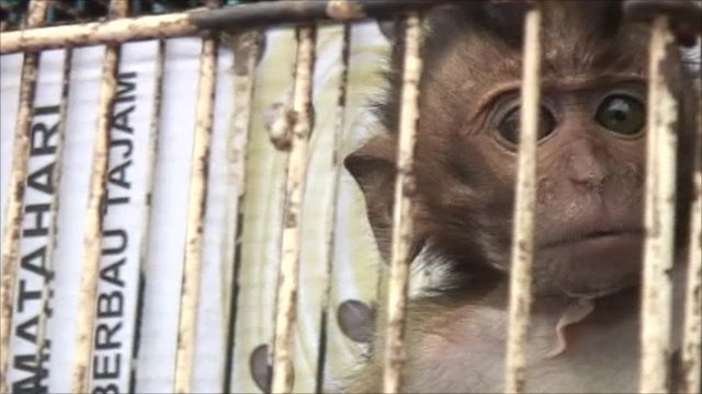 Endangered monkey in a cage
