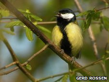 Great tit singing (image: Gerd Rossen)