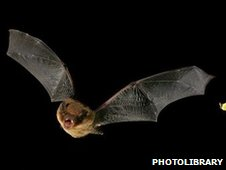 A soprano pipistrelle in flight (c) photolibrary