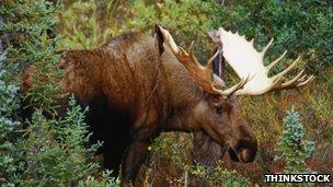 A bull elk