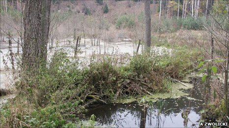 A beaver dam changes the woodland habitat (c) Adrian Zwolicki