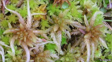 Peat moss Sphagnum subnitens (image: E. Karlin)