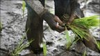 Rice farmer in Indonesia