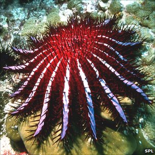 Crown-of-thorns starfish