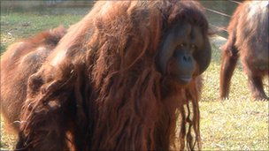 An orangutan kept at a private zoo, its fur all knotted up (photo from East)