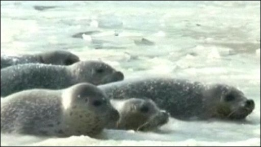 Seals stuck in the ice