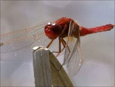 Dragonfly in Iraqi marshes