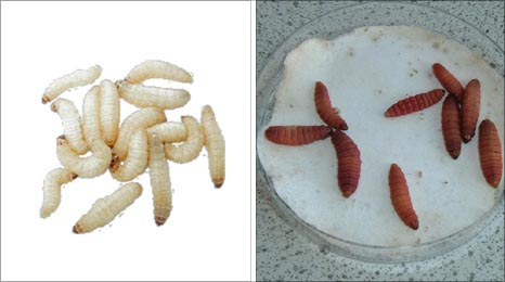 Infected and uninfected insect larvae