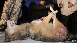 Dead wolf after hunt near Kristinehamn in Sweden, 2 Jan 10